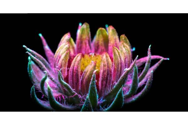 عکاسی با تکنیک UVIVF از گیاهان